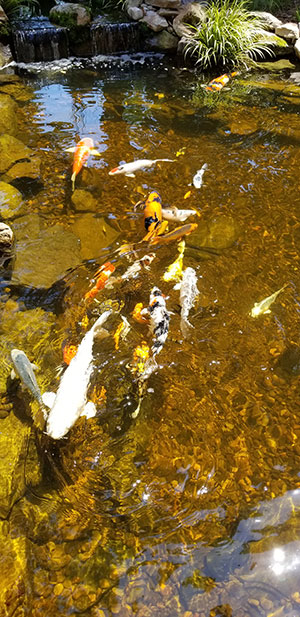 5 Unexpected Benefits of Koi Ponds